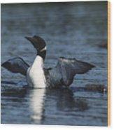 Common Loon Flaps Wood Print