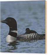 Common Loon Gavia Immer, With Baby Wood Print