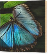 Common Morpho Blue Butterfly Wood Print