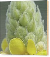 Common Mullein - New England Wood Print