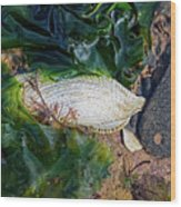 Common Piddock - Pholas Dactylus Wood Print