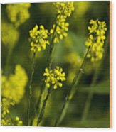 Common Wintercress Flowers Wood Print