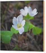 Common Wood Sorrel Wood Print