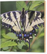 Common Yellow Swallowtail Wood Print