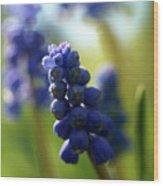 Compact Grape-hyacinth 2 Wood Print