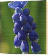 Compact Grape-hyacinth Wood Print