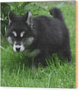 Concern Expressed On The Face Of An Alusky Pup Wood Print