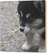 Concern On The Face Of An Alusky Puppy Wood Print