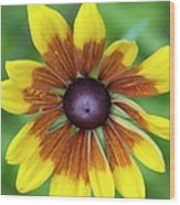 Coneflower - New England Wild Flower Wood Print