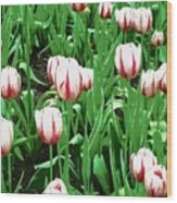Confederation Tulips Wood Print