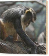 Congo Monkey3 Wood Print