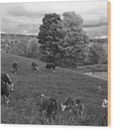 Congregating Cows. Jenne Farm Cow Reading Vermont Black And White Wood Print