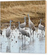 Congregating Sandhill Cranes Wood Print