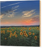 Connecticut Sunflowers In The Evening Wood Print
