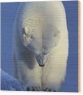Contemplation Polar Bear Wood Print