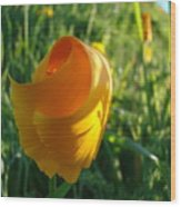 Contemporary Orange Poppy Flower Unfolding In Sunlight 10 Baslee Troutman Wood Print
