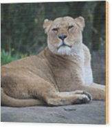 Contented Lioness Wood Print
