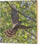 Cooper's Hawk In Early Morning Light Wood Print