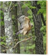 Coopers Hawk In New Hampshire Wood Print