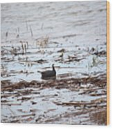 Coot In The Weeds Wood Print