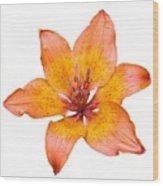 Coral Colored Lily Isolated On White Wood Print