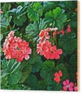 Coral Geraniums At Pilgrim Place In Claremont-california   Wood Print