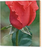 Coral Rosebud At Pilgrim Place In Claremont-california   Wood Print