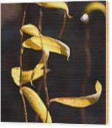Corkscrew Willow Wood Print