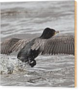 Cormorant Taking To The Air Wood Print