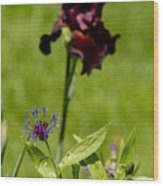 Corn Flower With A Friend Visiting Wood Print
