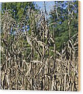 Corn Stalks Drying Wood Print