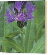 Cornflower Purple Surprise V1 Wood Print