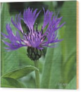 Cornflower Purple Surprise V2 Wood Print