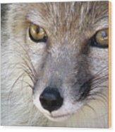 Corsac Fox- Vulpes Corsac 02 Wood Print