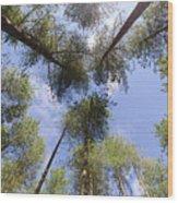 Corsican Pine Canopy Wood Print