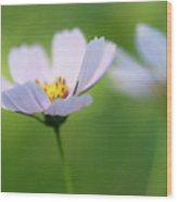 Cosmos In A Field Wood Print