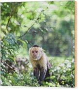 Costa Rica Capuchin Monkey II Wood Print