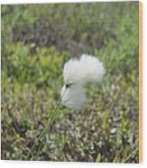 Cotton Grass -eriophorum Virginicum- Wood Print