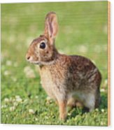 Cottontail Wood Print