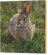 Cottontail Bunny ... Montana Art Photo Wood Print