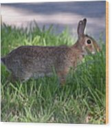 Cottontail Rabbit In My Front Yard Wood Print