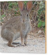 Cottontail Rabbit Surprised To Have Company Wood Print