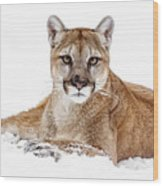 Cougar On White Wood Print