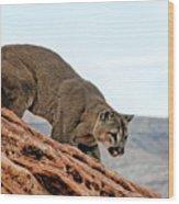 Cougar Prowling Wood Print