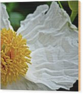 Coulter's Matilija Poppy In Rancho Santa Ana Botanic Gardens, Claremont-california  Wood Print