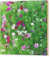 Country Cosmos Wood Print