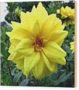 Country Dahlias Wood Print