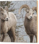 Couple Of Rams- Banff National Park Wood Print