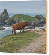 Cow At Kynance Cove Wood Print