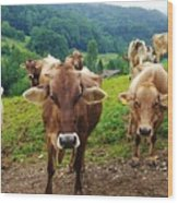 Cow Gazing  Wood Print